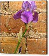 Iris And The Wall Acrylic Print