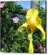 Iris And Wild Roses Acrylic Print