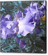 Iris Azulez Acrylic Print