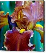 Iris Beauty Photograph Acrylic Print