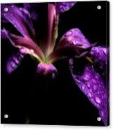 Iris Bloom Acrylic Print