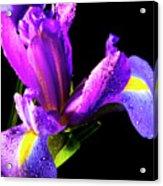 Iris Bloom One Acrylic Print