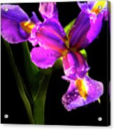 Iris Bloom Two Acrylic Print