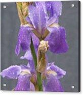 Iris Blooms In The Rain Acrylic Print
