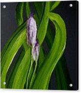 Iris Buds  49 Acrylic Print