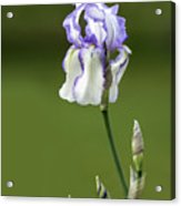 Iris Buds To Flower Acrylic Print