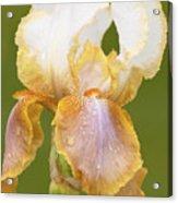 Iris Canary Frills Acrylic Print