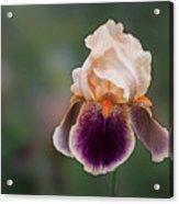 Iris Curls Acrylic Print