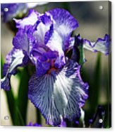 Iris Dressed For Royalty Acrylic Print