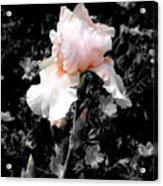 Iris Emergance Acrylic Print