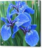 Iris Floral  Acrylic Print