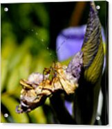 Iris Flower And Visitor Acrylic Print