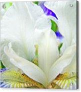 Iris Flower Art Print White Blue Purple Irises Baslee Troutman Acrylic Print