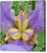 Iris Flower Lavender Purple Yellow Irises Garden 19 Art Prints Baslee Troutman Acrylic Print