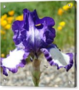 Iris Flower Purple White Irises Nature Landscape Giclee Art Prints Baslee Troutman Acrylic Print