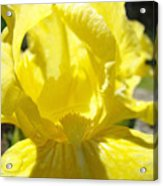 Iris Flower Yellow Macro Close Up Irises 30 Sunlit Iris Art Print Baslee Troutman Acrylic Print