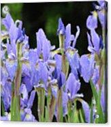 Iris Flowers Art Print Blue Purple Irises Spring Rain Acrylic Print