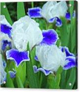 Iris Flowers Art Prints Blue White Irises Floral Baslee Troutman Acrylic Print