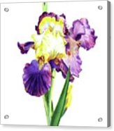 Iris Flowers Watercolor  Acrylic Print