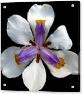 Iris For Easter  Acrylic Print