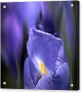 Iris Glow Acrylic Print