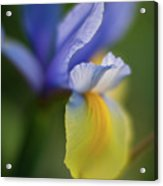 Iris Grace Acrylic Print by Mike Reid