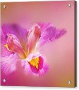 Iris In Mist Acrylic Print