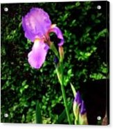 Iris In Sunshine Acrylic Print