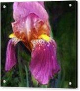 Iris In The Pink Acrylic Print