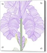 Iris Line Drawing Two Acrylic Print by Anne Norskog