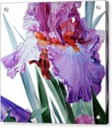 Watercolor Of A Tall Bearded Iris In Pink, Lilac And Red I Call Iris Pavarotti Acrylic Print