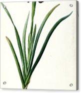 Iris Luxiana Acrylic Print by Pierre Joseph  Redoute