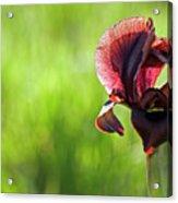 Iris Acrylic Print