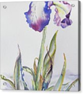 Iris Passion Acrylic Print