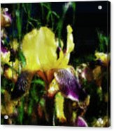 Iris Purple And Yellow Acrylic Print