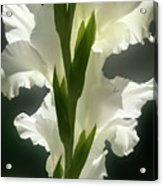 Gladiolus Spectacular #2 Acrylic Print
