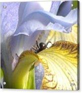 Iris Spider Acrylic Print