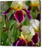 Iris Spring Acrylic Print