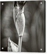 Iris To Be Acrylic Print