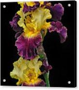 Iris Triple Acrylic Print