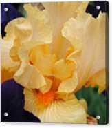 Irises Art Prints Peach Iris Flowers Artwork Floral Botanical Art Baslee Troutman Acrylic Print