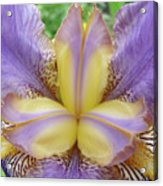Irises Art Purple Yellow Iris Flowers Giclee Prints Baslee Troutman  Acrylic Print