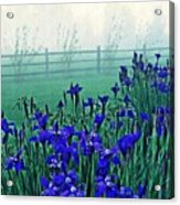 Irises At Dawn 3 Acrylic Print
