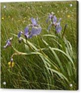 Irises By The Sea Acrylic Print