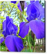 Irises Floral Garden Art Print Blue Purple Iris Flowers Baslee Troutman Acrylic Print