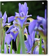 Irises Flowers Art Prints Blue Purple Iris Floral Baslee Troutman Acrylic Print