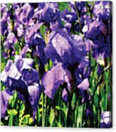 Irises Princess Royal Smith Acrylic Print