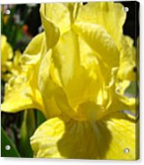 Irises Yellow Iris Flowers Floral Art Prints Botanical Garden Artwork Giclee Acrylic Print