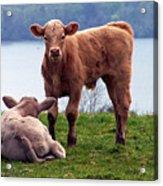 Irish Calves At Lough Eske Acrylic Print