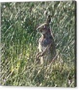 irish Hare Acrylic Print